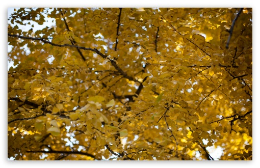 Yellow Ginkgo Tree HD wallpaper for Wide 16:10 5:3 Widescreen WHXGA WQXGA WUXGA WXGA WGA ; HD 16:9 High Definition WQHD QWXGA 1080p 900p 720p QHD nHD ; Standard 4:3 5:4 3:2 Fullscreen UXGA XGA SVGA QSXGA SXGA DVGA HVGA HQVGA devices ( Apple PowerBook G4 iPhone 4 3G 3GS iPod Touch ) ; Smartphone 5:3 WGA ; Tablet 1:1 ; iPad 1/2/Mini ; Mobile 4:3 5:3 3:2 16:9 5:4 - UXGA XGA SVGA WGA DVGA HVGA HQVGA devices ( Apple PowerBook G4 iPhone 4 3G 3GS iPod Touch ) WQHD QWXGA 1080p 900p 720p QHD nHD QSXGA SXGA ; Dual 16:10 5:3 16:9 4:3 5:4 WHXGA WQXGA WUXGA WXGA WGA WQHD QWXGA 1080p 900p 720p QHD nHD UXGA XGA SVGA QSXGA SXGA ;
