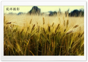 Yellow Grain HD Wide Wallpaper for Widescreen