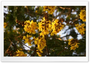 Yellow Gulmohar Flowers . . Ultra HD Wallpaper for 4K UHD Widescreen desktop, tablet & smartphone