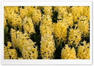 Yellow Hyacinths Flowers, Spring Ultra HD Wallpaper for 4K UHD Widescreen desktop, tablet & smartphone