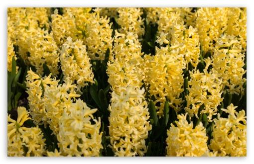 Yellow Hyacinths Flowers, Spring UltraHD Wallpaper for Wide 16:10 5:3 Widescreen WHXGA WQXGA WUXGA WXGA WGA ; UltraWide 21:9 24:10 ; 8K UHD TV 16:9 Ultra High Definition 2160p 1440p 1080p 900p 720p ; UHD 16:9 2160p 1440p 1080p 900p 720p ; Standard 4:3 5:4 3:2 Fullscreen UXGA XGA SVGA QSXGA SXGA DVGA HVGA HQVGA ( Apple PowerBook G4 iPhone 4 3G 3GS iPod Touch ) ; Smartphone 16:9 3:2 5:3 2160p 1440p 1080p 900p 720p DVGA HVGA HQVGA ( Apple PowerBook G4 iPhone 4 3G 3GS iPod Touch ) WGA ; Tablet 1:1 ; iPad 1/2/Mini ; Mobile 4:3 5:3 3:2 16:9 5:4 - UXGA XGA SVGA WGA DVGA HVGA HQVGA ( Apple PowerBook G4 iPhone 4 3G 3GS iPod Touch ) 2160p 1440p 1080p 900p 720p QSXGA SXGA ;