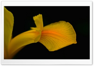Yellow Iris Flower HD Wide Wallpaper for Widescreen