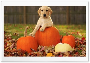 Yellow Labrador Retriever Puppy Autumn Ultra HD Wallpaper for 4K UHD Widescreen desktop, tablet & smartphone