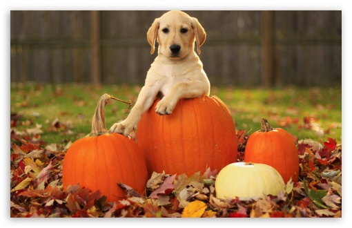Yellow Labrador Retriever Puppy Autumn HD wallpaper for Wide 16:10 5:3 Widescreen WHXGA WQXGA WUXGA WXGA WGA ; HD 16:9 High Definition WQHD QWXGA 1080p 900p 720p QHD nHD ; Standard 4:3 5:4 3:2 Fullscreen UXGA XGA SVGA QSXGA SXGA DVGA HVGA HQVGA devices ( Apple PowerBook G4 iPhone 4 3G 3GS iPod Touch ) ; iPad 1/2/Mini ; Mobile 4:3 5:3 3:2 16:9 5:4 - UXGA XGA SVGA WGA DVGA HVGA HQVGA devices ( Apple PowerBook G4 iPhone 4 3G 3GS iPod Touch ) WQHD QWXGA 1080p 900p 720p QHD nHD QSXGA SXGA ;
