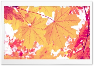 Yellow Leaves HD Wide Wallpaper for Widescreen