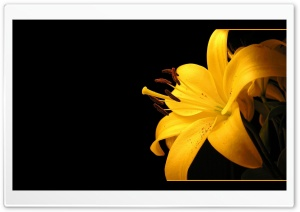 Yellow Lilies HD Wide Wallpaper for Widescreen