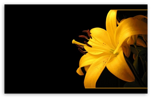 Yellow Lilies HD wallpaper for Wide 16:10 5:3 Widescreen WHXGA WQXGA WUXGA WXGA WGA ; HD 16:9 High Definition WQHD QWXGA 1080p 900p 720p QHD nHD ; Standard 4:3 5:4 3:2 Fullscreen UXGA XGA SVGA QSXGA SXGA DVGA HVGA HQVGA devices ( Apple PowerBook G4 iPhone 4 3G 3GS iPod Touch ) ; Tablet 1:1 ; iPad 1/2/Mini ; Mobile 4:3 5:3 3:2 16:9 5:4 - UXGA XGA SVGA WGA DVGA HVGA HQVGA devices ( Apple PowerBook G4 iPhone 4 3G 3GS iPod Touch ) WQHD QWXGA 1080p 900p 720p QHD nHD QSXGA SXGA ;