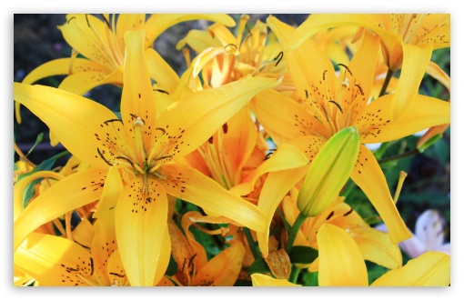 Yellow Lilies HD wallpaper for Wide 16:10 5:3 Widescreen WHXGA WQXGA WUXGA WXGA WGA ; HD 16:9 High Definition WQHD QWXGA 1080p 900p 720p QHD nHD ; Standard 4:3 5:4 3:2 Fullscreen UXGA XGA SVGA QSXGA SXGA DVGA HVGA HQVGA devices ( Apple PowerBook G4 iPhone 4 3G 3GS iPod Touch ) ; iPad 1/2/Mini ; Mobile 4:3 5:3 3:2 16:9 5:4 - UXGA XGA SVGA WGA DVGA HVGA HQVGA devices ( Apple PowerBook G4 iPhone 4 3G 3GS iPod Touch ) WQHD QWXGA 1080p 900p 720p QHD nHD QSXGA SXGA ;