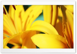 Yellow Lilies HD Wide Wallpaper for 4K UHD Widescreen desktop & smartphone