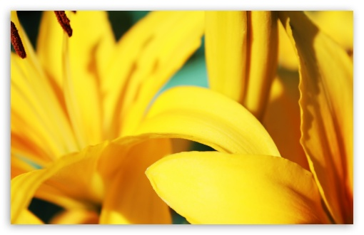 Yellow Lilies ❤ 4K UHD Wallpaper for Wide 16:10 5:3 Widescreen WHXGA WQXGA WUXGA WXGA WGA ; 4K UHD 16:9 Ultra High Definition 2160p 1440p 1080p 900p 720p ; UHD 16:9 2160p 1440p 1080p 900p 720p ; Standard 4:3 5:4 3:2 Fullscreen UXGA XGA SVGA QSXGA SXGA DVGA HVGA HQVGA ( Apple PowerBook G4 iPhone 4 3G 3GS iPod Touch ) ; Tablet 1:1 ; iPad 1/2/Mini ; Mobile 4:3 5:3 3:2 16:9 5:4 - UXGA XGA SVGA WGA DVGA HVGA HQVGA ( Apple PowerBook G4 iPhone 4 3G 3GS iPod Touch ) 2160p 1440p 1080p 900p 720p QSXGA SXGA ;