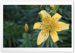 Yellow lily. HD Wide Wallpaper for Widescreen