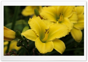 Yellow Lily Flower HD Wide Wallpaper for Widescreen