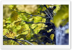 Yellow Linden Leaves HD Wide Wallpaper for Widescreen