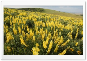 Yellow Lupine Emigrant Hill Oregon HD Wide Wallpaper for 4K UHD Widescreen desktop & smartphone