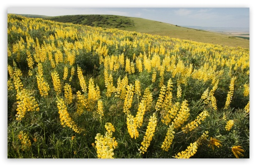 Yellow Lupine Emigrant Hill Oregon HD wallpaper for Wide 16:10 Widescreen WHXGA WQXGA WUXGA WXGA ; Standard 4:3 5:4 3:2 Fullscreen UXGA XGA SVGA QSXGA SXGA DVGA HVGA HQVGA devices ( Apple PowerBook G4 iPhone 4 3G 3GS iPod Touch ) ; Tablet 1:1 ; iPad 1/2/Mini ; Mobile 4:3 5:3 3:2 5:4 - UXGA XGA SVGA WGA DVGA HVGA HQVGA devices ( Apple PowerBook G4 iPhone 4 3G 3GS iPod Touch ) QSXGA SXGA ;