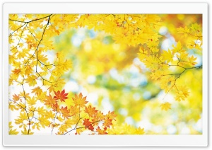 Yellow Maple Leaves HD Wide Wallpaper for 4K UHD Widescreen desktop & smartphone