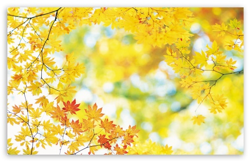 Yellow Maple Leaves HD wallpaper for Wide 16:10 5:3 Widescreen WHXGA WQXGA WUXGA WXGA WGA ; HD 16:9 High Definition WQHD QWXGA 1080p 900p 720p QHD nHD ; Standard 4:3 5:4 3:2 Fullscreen UXGA XGA SVGA QSXGA SXGA DVGA HVGA HQVGA devices ( Apple PowerBook G4 iPhone 4 3G 3GS iPod Touch ) ; Tablet 1:1 ; iPad 1/2/Mini ; Mobile 4:3 5:3 3:2 16:9 5:4 - UXGA XGA SVGA WGA DVGA HVGA HQVGA devices ( Apple PowerBook G4 iPhone 4 3G 3GS iPod Touch ) WQHD QWXGA 1080p 900p 720p QHD nHD QSXGA SXGA ;