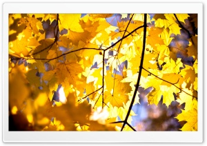 Yellow Maple Leaves HD Wide Wallpaper for Widescreen