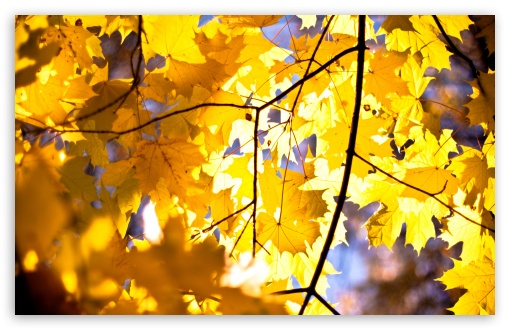 Yellow Maple Leaves ❤ 4K UHD Wallpaper for Wide 16:10 5:3 Widescreen WHXGA WQXGA WUXGA WXGA WGA ; 4K UHD 16:9 Ultra High Definition 2160p 1440p 1080p 900p 720p ; UHD 16:9 2160p 1440p 1080p 900p 720p ; Standard 4:3 5:4 3:2 Fullscreen UXGA XGA SVGA QSXGA SXGA DVGA HVGA HQVGA ( Apple PowerBook G4 iPhone 4 3G 3GS iPod Touch ) ; Tablet 1:1 ; iPad 1/2/Mini ; Mobile 4:3 5:3 3:2 16:9 5:4 - UXGA XGA SVGA WGA DVGA HVGA HQVGA ( Apple PowerBook G4 iPhone 4 3G 3GS iPod Touch ) 2160p 1440p 1080p 900p 720p QSXGA SXGA ; Dual 16:10 5:3 16:9 4:3 5:4 WHXGA WQXGA WUXGA WXGA WGA 2160p 1440p 1080p 900p 720p UXGA XGA SVGA QSXGA SXGA ;