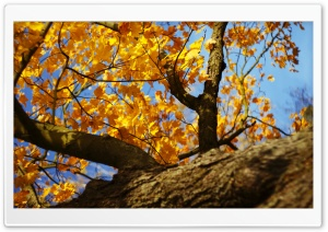 Yellow Maple Tree HD Wide Wallpaper for Widescreen