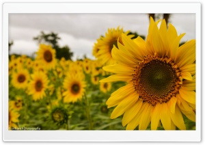 Yellow Mellow Sunflower HD Wide Wallpaper for Widescreen