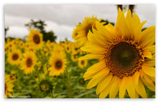 Yellow Mellow Sunflower ❤ 4K UHD Wallpaper for Wide 16:10 5:3 Widescreen WHXGA WQXGA WUXGA WXGA WGA ; 4K UHD 16:9 Ultra High Definition 2160p 1440p 1080p 900p 720p ; UHD 16:9 2160p 1440p 1080p 900p 720p ; Standard 3:2 Fullscreen DVGA HVGA HQVGA ( Apple PowerBook G4 iPhone 4 3G 3GS iPod Touch ) ; Tablet 1:1 ; iPad 1/2/Mini ; Mobile 4:3 5:3 3:2 16:9 - UXGA XGA SVGA WGA DVGA HVGA HQVGA ( Apple PowerBook G4 iPhone 4 3G 3GS iPod Touch ) 2160p 1440p 1080p 900p 720p ;