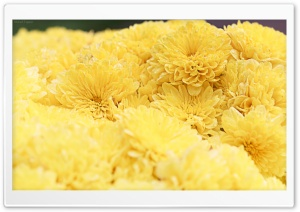 Yellow Mums HD Wide Wallpaper for Widescreen