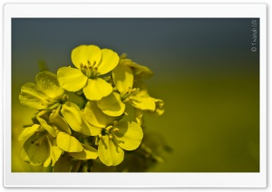 Yellow Mustard Flowers HD Wide Wallpaper for Widescreen