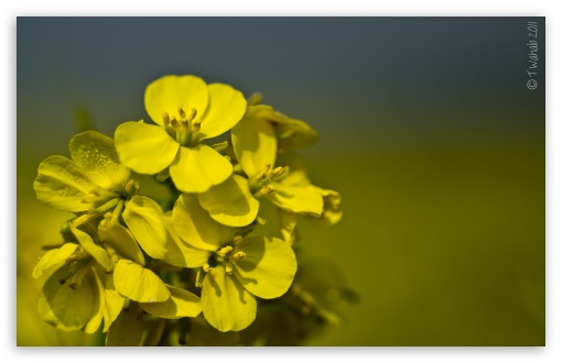 Yellow Mustard Flowers ❤ 4K UHD Wallpaper for Wide 16:10 5:3 Widescreen WHXGA WQXGA WUXGA WXGA WGA ; 4K UHD 16:9 Ultra High Definition 2160p 1440p 1080p 900p 720p ; UHD 16:9 2160p 1440p 1080p 900p 720p ; Standard 3:2 Fullscreen DVGA HVGA HQVGA ( Apple PowerBook G4 iPhone 4 3G 3GS iPod Touch ) ; Mobile 5:3 3:2 16:9 - WGA DVGA HVGA HQVGA ( Apple PowerBook G4 iPhone 4 3G 3GS iPod Touch ) 2160p 1440p 1080p 900p 720p ;