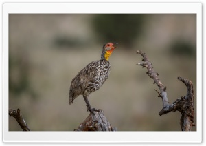 Yellow-necked Spurfowl Bird HD Wide Wallpaper for Widescreen