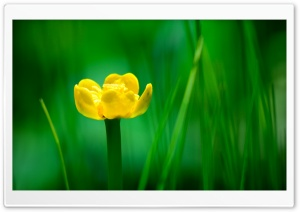 Yellow Nuphar Lutea HD Wide Wallpaper for Widescreen