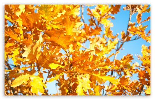 Yellow Oak Leaves ❤ 4K UHD Wallpaper for Wide 16:10 5:3 Widescreen WHXGA WQXGA WUXGA WXGA WGA ; 4K UHD 16:9 Ultra High Definition 2160p 1440p 1080p 900p 720p ; UHD 16:9 2160p 1440p 1080p 900p 720p ; Standard 4:3 5:4 3:2 Fullscreen UXGA XGA SVGA QSXGA SXGA DVGA HVGA HQVGA ( Apple PowerBook G4 iPhone 4 3G 3GS iPod Touch ) ; Tablet 1:1 ; iPad 1/2/Mini ; Mobile 4:3 5:3 3:2 16:9 5:4 - UXGA XGA SVGA WGA DVGA HVGA HQVGA ( Apple PowerBook G4 iPhone 4 3G 3GS iPod Touch ) 2160p 1440p 1080p 900p 720p QSXGA SXGA ; Dual 16:10 5:3 16:9 4:3 5:4 WHXGA WQXGA WUXGA WXGA WGA 2160p 1440p 1080p 900p 720p UXGA XGA SVGA QSXGA SXGA ;