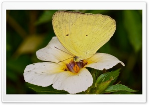 Yellow Orange Tip Butterly HD Wide Wallpaper for Widescreen