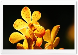 Yellow Orchid HD Wide Wallpaper for Widescreen