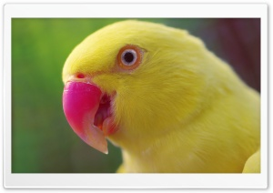 Yellow Parrot HD Wide Wallpaper for Widescreen