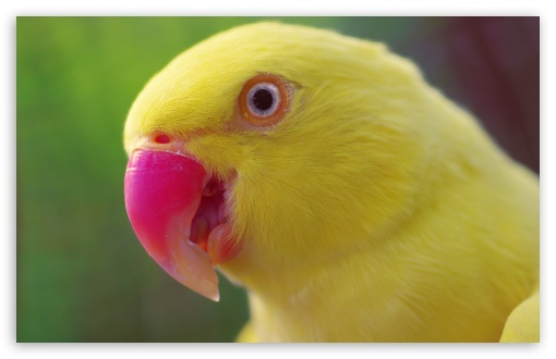 Yellow Parrot HD wallpaper for Wide 16:10 5:3 Widescreen WHXGA WQXGA WUXGA WXGA WGA ; HD 16:9 High Definition WQHD QWXGA 1080p 900p 720p QHD nHD ; UHD 16:9 WQHD QWXGA 1080p 900p 720p QHD nHD ; Standard 4:3 5:4 3:2 Fullscreen UXGA XGA SVGA QSXGA SXGA DVGA HVGA HQVGA devices ( Apple PowerBook G4 iPhone 4 3G 3GS iPod Touch ) ; Tablet 1:1 ; iPad 1/2/Mini ; Mobile 4:3 5:3 3:2 16:9 5:4 - UXGA XGA SVGA WGA DVGA HVGA HQVGA devices ( Apple PowerBook G4 iPhone 4 3G 3GS iPod Touch ) WQHD QWXGA 1080p 900p 720p QHD nHD QSXGA SXGA ;