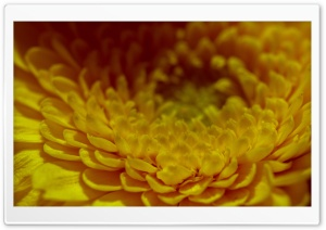 Yellow Petals HD Wide Wallpaper for Widescreen
