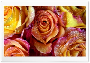 Yellow Pink Roses HD Wide Wallpaper for Widescreen