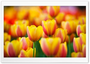 Yellow Pink Tulips HD Wide Wallpaper for 4K UHD Widescreen desktop & smartphone