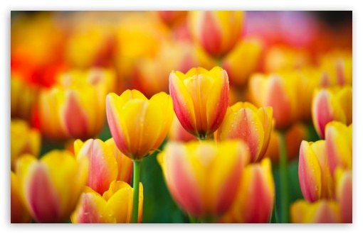 Yellow Pink Tulips HD wallpaper for Wide 16:10 5:3 Widescreen WHXGA WQXGA WUXGA WXGA WGA ; HD 16:9 High Definition WQHD QWXGA 1080p 900p 720p QHD nHD ; UHD 16:9 WQHD QWXGA 1080p 900p 720p QHD nHD ; Standard 4:3 5:4 3:2 Fullscreen UXGA XGA SVGA QSXGA SXGA DVGA HVGA HQVGA devices ( Apple PowerBook G4 iPhone 4 3G 3GS iPod Touch ) ; Tablet 1:1 ; iPad 1/2/Mini ; Mobile 4:3 5:3 3:2 16:9 5:4 - UXGA XGA SVGA WGA DVGA HVGA HQVGA devices ( Apple PowerBook G4 iPhone 4 3G 3GS iPod Touch ) WQHD QWXGA 1080p 900p 720p QHD nHD QSXGA SXGA ;
