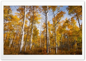 Yellow Quaking Aspen Trees Forest, Fall HD Wide Wallpaper for 4K UHD Widescreen desktop & smartphone