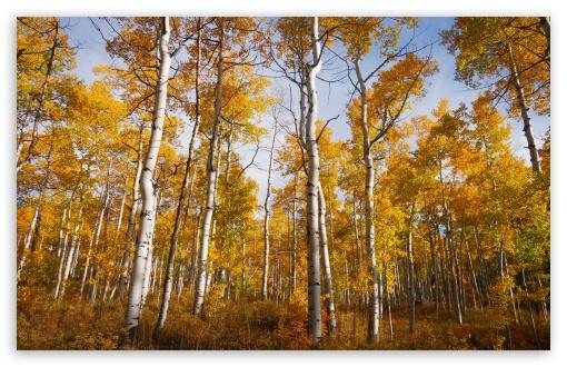Yellow Quaking Aspen Trees Forest, Fall UltraHD Wallpaper for Wide 16:10 5:3 Widescreen WHXGA WQXGA WUXGA WXGA WGA ; UltraWide 21:9 24:10 ; 8K UHD TV 16:9 Ultra High Definition 2160p 1440p 1080p 900p 720p ; UHD 16:9 2160p 1440p 1080p 900p 720p ; Standard 4:3 5:4 3:2 Fullscreen UXGA XGA SVGA QSXGA SXGA DVGA HVGA HQVGA ( Apple PowerBook G4 iPhone 4 3G 3GS iPod Touch ) ; Smartphone 16:9 3:2 5:3 2160p 1440p 1080p 900p 720p DVGA HVGA HQVGA ( Apple PowerBook G4 iPhone 4 3G 3GS iPod Touch ) WGA ; Tablet 1:1 ; iPad 1/2/Mini ; Mobile 4:3 5:3 3:2 16:9 5:4 - UXGA XGA SVGA WGA DVGA HVGA HQVGA ( Apple PowerBook G4 iPhone 4 3G 3GS iPod Touch ) 2160p 1440p 1080p 900p 720p QSXGA SXGA ; Dual 16:10 5:3 16:9 4:3 5:4 3:2 WHXGA WQXGA WUXGA WXGA WGA 2160p 1440p 1080p 900p 720p UXGA XGA SVGA QSXGA SXGA DVGA HVGA HQVGA ( Apple PowerBook G4 iPhone 4 3G 3GS iPod Touch ) ;