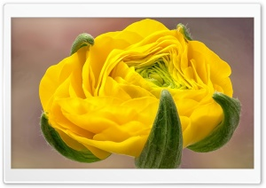 Yellow Ranunculus HD Wide Wallpaper for 4K UHD Widescreen desktop & smartphone