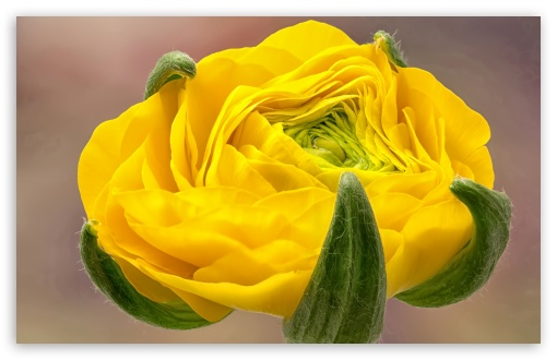 Yellow Ranunculus ❤ 4K UHD Wallpaper for Wide 16:10 5:3 Widescreen WHXGA WQXGA WUXGA WXGA WGA ; 4K UHD 16:9 Ultra High Definition 2160p 1440p 1080p 900p 720p ; Standard 4:3 5:4 3:2 Fullscreen UXGA XGA SVGA QSXGA SXGA DVGA HVGA HQVGA ( Apple PowerBook G4 iPhone 4 3G 3GS iPod Touch ) ; iPad 1/2/Mini ; Mobile 4:3 5:3 3:2 16:9 5:4 - UXGA XGA SVGA WGA DVGA HVGA HQVGA ( Apple PowerBook G4 iPhone 4 3G 3GS iPod Touch ) 2160p 1440p 1080p 900p 720p QSXGA SXGA ; Dual 16:10 5:3 16:9 4:3 5:4 WHXGA WQXGA WUXGA WXGA WGA 2160p 1440p 1080p 900p 720p UXGA XGA SVGA QSXGA SXGA ;