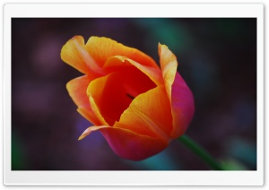 Yellow Red Tulip Flower HD Wide Wallpaper for Widescreen