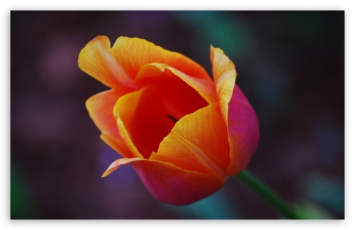 Yellow Red Tulip Flower ❤ 4K UHD Wallpaper for Wide 16:10 5:3 Widescreen WHXGA WQXGA WUXGA WXGA WGA ; 4K UHD 16:9 Ultra High Definition 2160p 1440p 1080p 900p 720p ; UHD 16:9 2160p 1440p 1080p 900p 720p ; Standard 4:3 5:4 3:2 Fullscreen UXGA XGA SVGA QSXGA SXGA DVGA HVGA HQVGA ( Apple PowerBook G4 iPhone 4 3G 3GS iPod Touch ) ; Smartphone 5:3 WGA ; Tablet 1:1 ; iPad 1/2/Mini ; Mobile 4:3 5:3 3:2 16:9 5:4 - UXGA XGA SVGA WGA DVGA HVGA HQVGA ( Apple PowerBook G4 iPhone 4 3G 3GS iPod Touch ) 2160p 1440p 1080p 900p 720p QSXGA SXGA ;