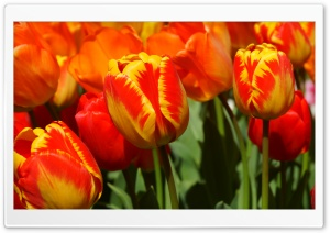 Yellow Red Tulips HD Wide Wallpaper for Widescreen
