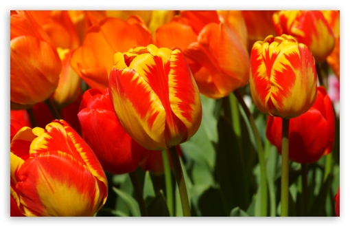 Yellow Red Tulips ❤ 4K UHD Wallpaper for Wide 16:10 5:3 Widescreen WHXGA WQXGA WUXGA WXGA WGA ; 4K UHD 16:9 Ultra High Definition 2160p 1440p 1080p 900p 720p ; UHD 16:9 2160p 1440p 1080p 900p 720p ; Standard 4:3 5:4 3:2 Fullscreen UXGA XGA SVGA QSXGA SXGA DVGA HVGA HQVGA ( Apple PowerBook G4 iPhone 4 3G 3GS iPod Touch ) ; Smartphone 5:3 WGA ; Tablet 1:1 ; iPad 1/2/Mini ; Mobile 4:3 5:3 3:2 16:9 5:4 - UXGA XGA SVGA WGA DVGA HVGA HQVGA ( Apple PowerBook G4 iPhone 4 3G 3GS iPod Touch ) 2160p 1440p 1080p 900p 720p QSXGA SXGA ;