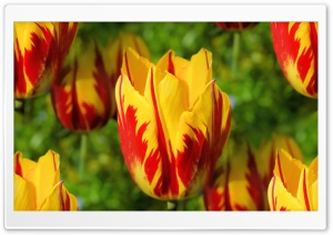 Yellow Red Tulips HD Wide Wallpaper for 4K UHD Widescreen desktop & smartphone