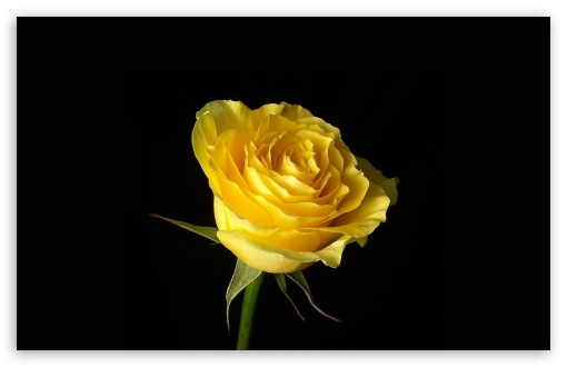 Yellow Rose HD wallpaper for Wide 16:10 5:3 Widescreen WHXGA WQXGA WUXGA WXGA WGA ; HD 16:9 High Definition WQHD QWXGA 1080p 900p 720p QHD nHD ; Standard 4:3 5:4 3:2 Fullscreen UXGA XGA SVGA QSXGA SXGA DVGA HVGA HQVGA devices ( Apple PowerBook G4 iPhone 4 3G 3GS iPod Touch ) ; Tablet 1:1 ; iPad 1/2/Mini ; Mobile 4:3 5:3 3:2 16:9 5:4 - UXGA XGA SVGA WGA DVGA HVGA HQVGA devices ( Apple PowerBook G4 iPhone 4 3G 3GS iPod Touch ) WQHD QWXGA 1080p 900p 720p QHD nHD QSXGA SXGA ;